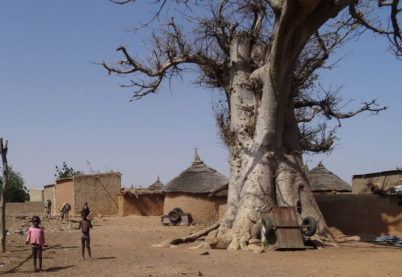 The baobab tree has a huge trunk and sheds its leaves in the long dry season, to conserve water. Both its fruit and leaves are tasty and nutritious.